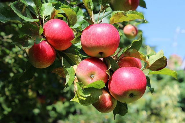 Яблоки увеличивают мышечную массу и сжигают жир