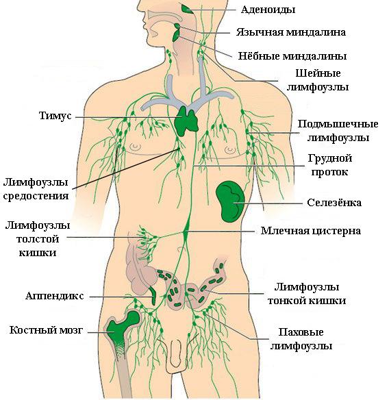 Расположение лимфатических узлов на теле человека